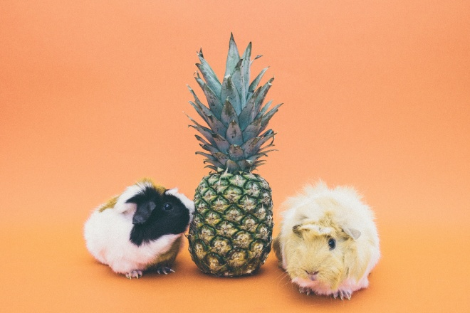pic of pineapple with fat hamsters